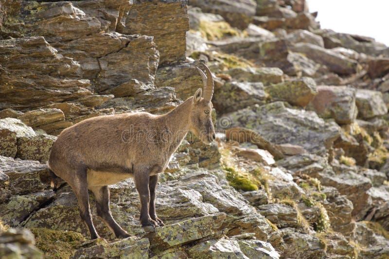 Download Capra Ibex stock image. Image of horn, wild, alps, mountain - 21119271
