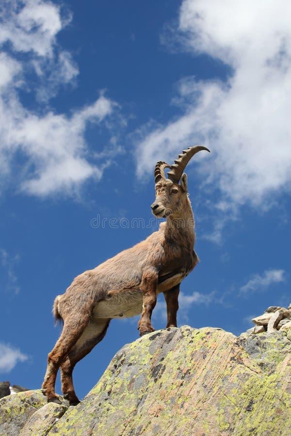 Capra ibex stock image