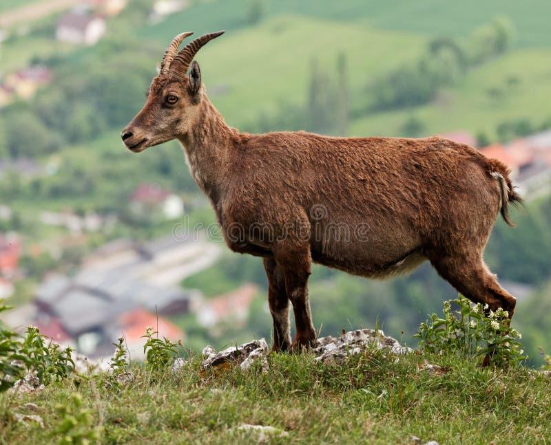 Capra ibex immagine stock libera da diritti