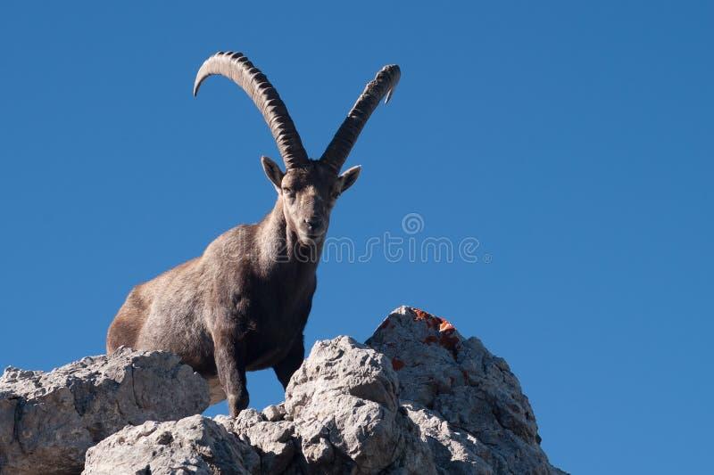 Capra ibex fotografie stock libere da diritti