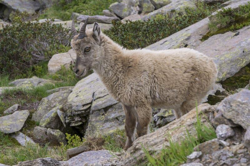 Capra ibex alpino dello stambecco nell'ambiente naturale fotografie stock