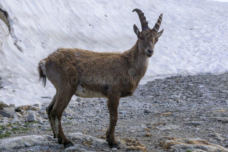 Capra ibex alpino dello stambecco nell'ambiente naturale fotografia stock libera da diritti