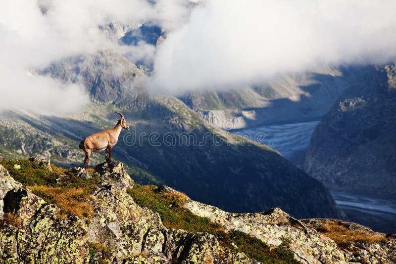 Capra ibex alpino dello stambecco sui precedenti di Mont Blanc Monte Bianco Mattina nebbiosa di estate nel Vallon de Berard Natur immagini stock