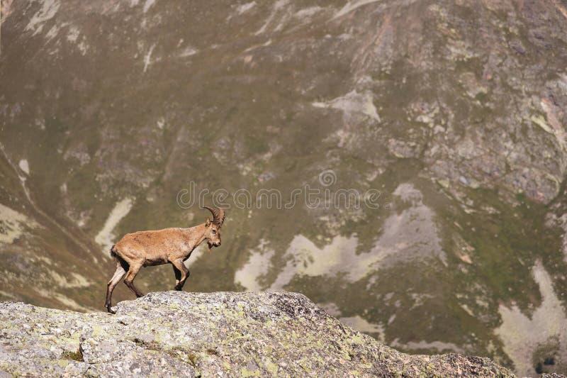 Capra ibex alpino maschio della capra cornuta sull'alta pietra delle rocce in montagne di Dombay Caucaso del nord La Russia immagine stock libera da diritti