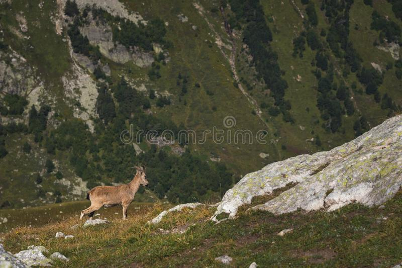 Capra ibex alpino maschio della capra cornuta sull'alta pietra delle rocce in montagne di Dombay Caucaso del nord La Russia immagini stock