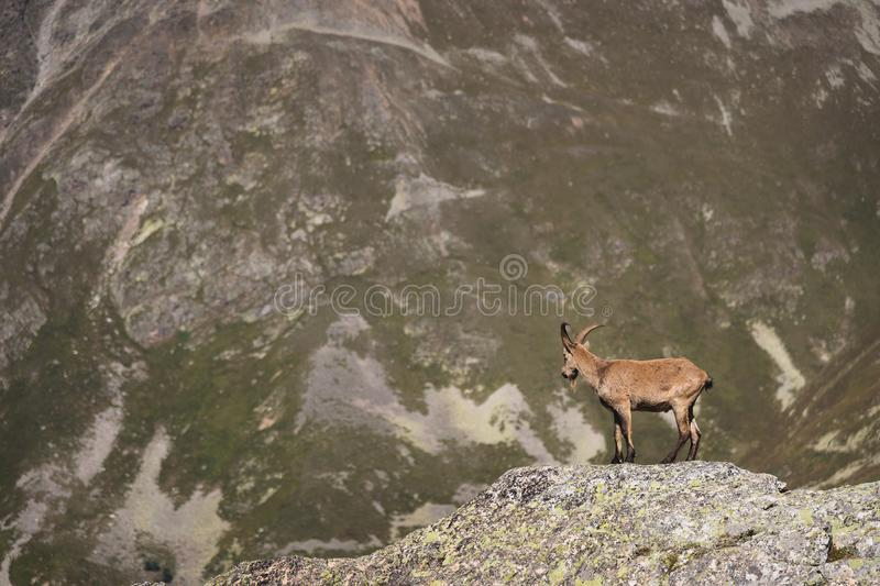 Capra ibex alpino maschio della capra cornuta sull'alta pietra delle rocce in montagne di Dombay Caucaso del nord La Russia immagini stock libere da diritti