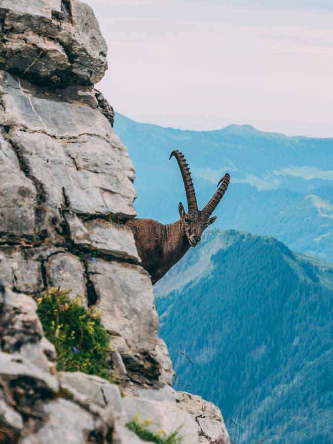 Capra ibex alpino nel paesaggio della montagna su una roccia ripida, alpi di stambecco delle Alpi di capricorno della Svizzera de fotografia stock libera da diritti