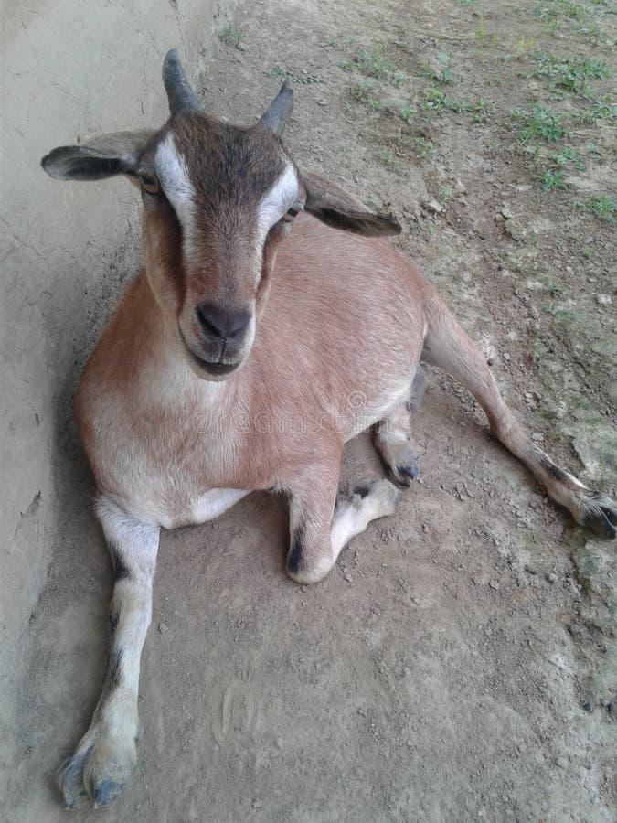 capra, capra marrone del Bengala fotografia stock libera da diritti