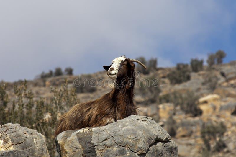 Capra nazionale con una pelle di capra marrone lunga fotografie stock