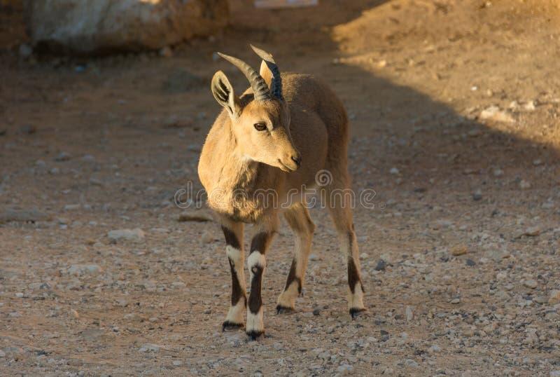 Capra Ramon Crater dello stambecco di Nubian in Israele fotografia stock libera da diritti