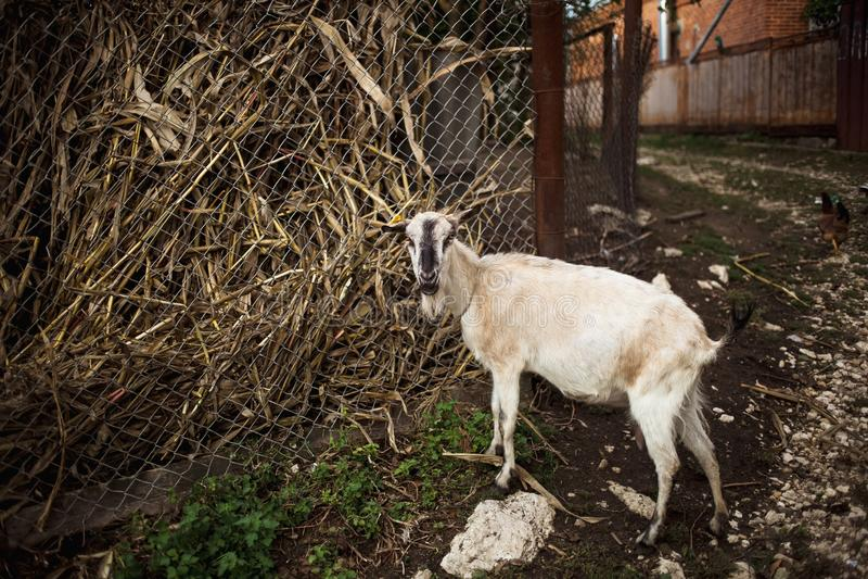 Capra Ritratto di una capra su un'azienda agricola nel villaggio Bella posa della capra fotografia stock libera da diritti