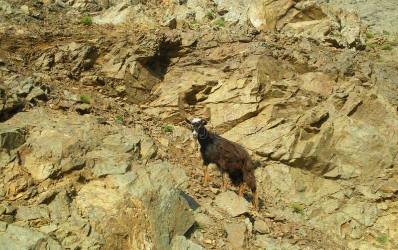 Capra selvaggia che scala una montagna fotografia stock
