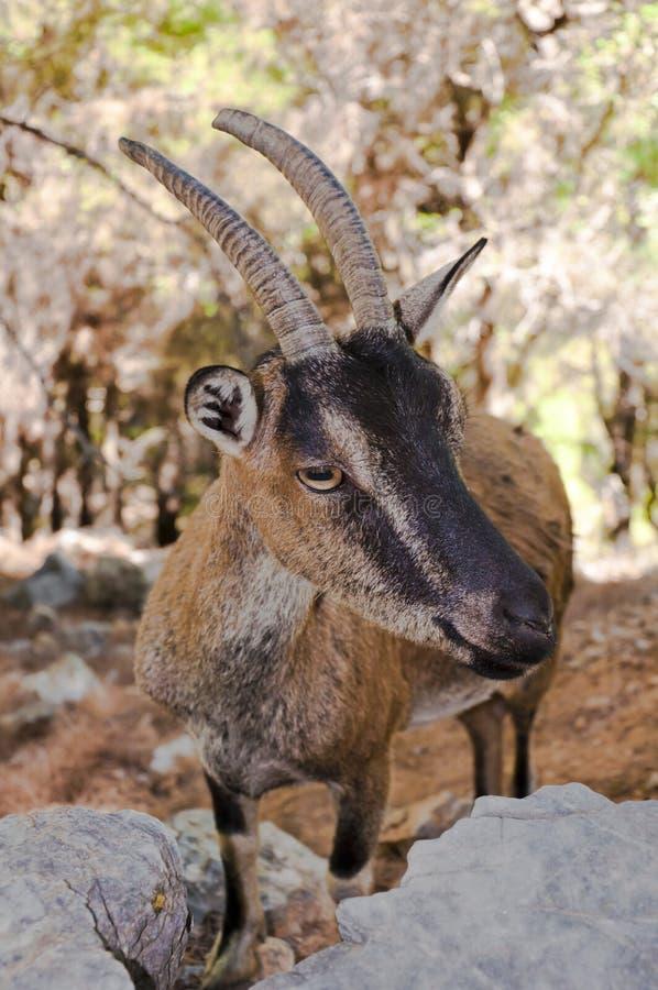 Capra selvaggia di kri-kri in Samaria Gorge, Creta, Grecia. immagini stock