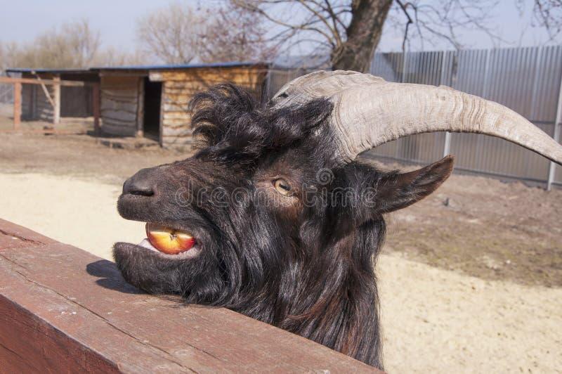 Capra selvaggia nera che mangia un pezzo di mele immagini stock