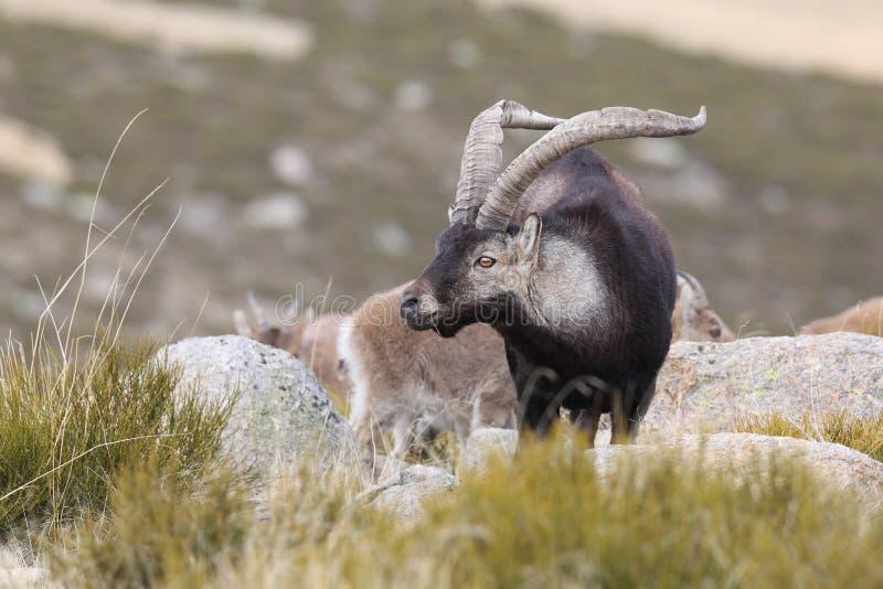 Capra selvaggia spagnola fotografie stock libere da diritti