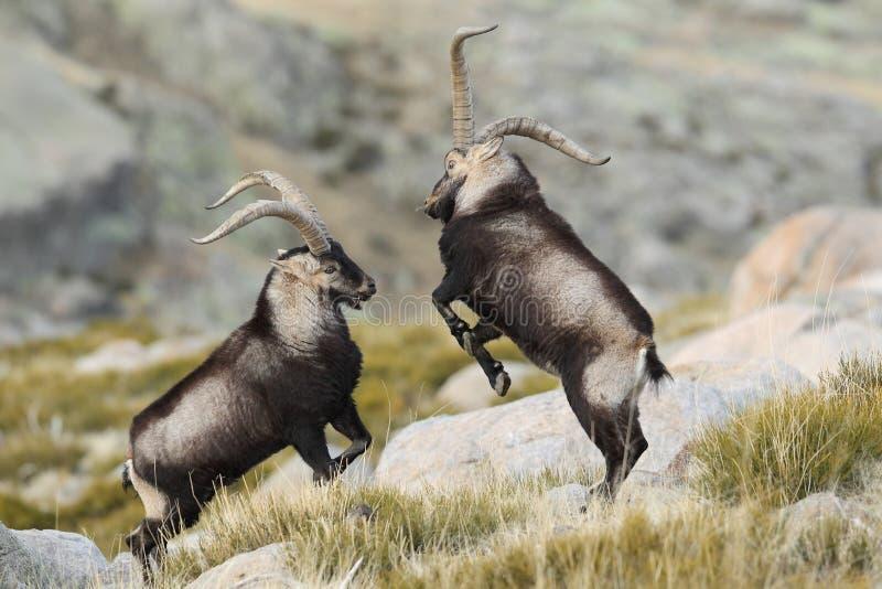 Capra selvaggia spagnola fotografia stock