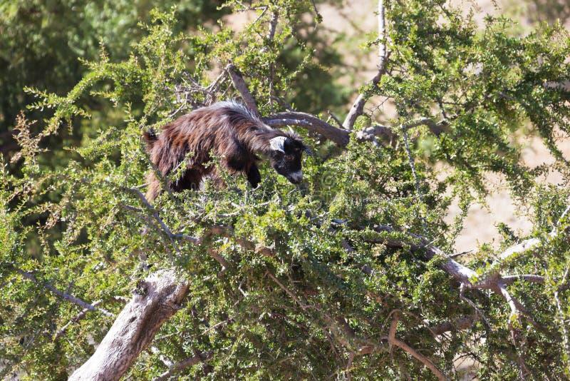 Capra su un albero dell'argania spinosa (argania spinosa). immagine stock libera da diritti
