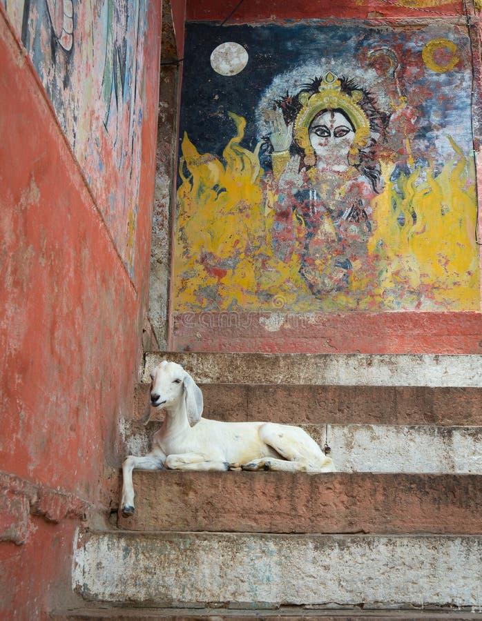 Capra sui punti dei ghats di Varanasi, India fotografie stock