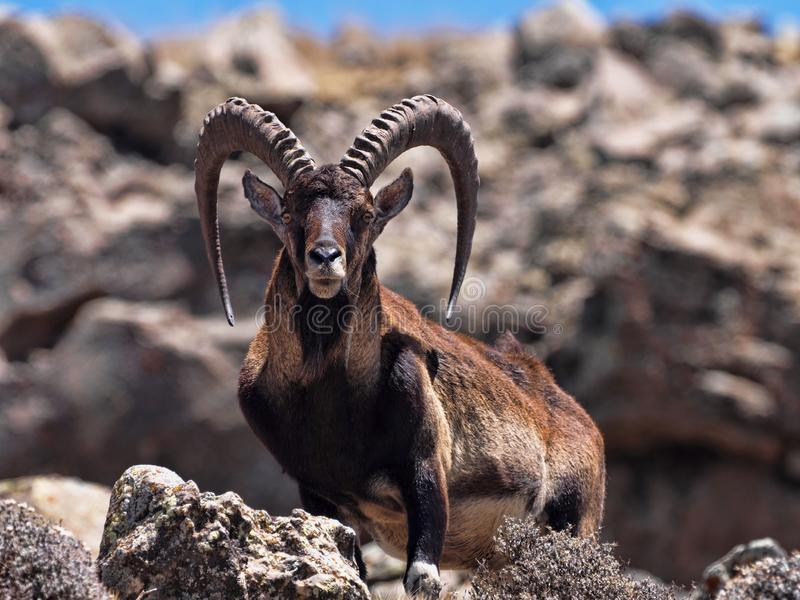 Walia ibex, Capra walia , is the rarest ibex, in the Simien Mountains of Ethiopia lives about 500 animals. The male Walia ibex, Capra walia , is the rarest ibex royalty free stock photography