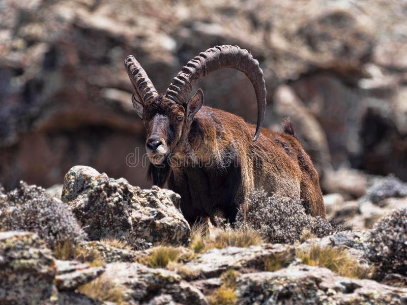 Walia ibex, Capra walia , is the rarest ibex, in the Simien Mountains of Ethiopia lives about 500 animals. The male Walia ibex, Capra walia , is the rarest ibex royalty free stock photos