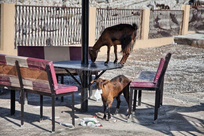 Capre che mangiano le carte ed altri rifiuti, in Musandam, l'Oman immagine stock