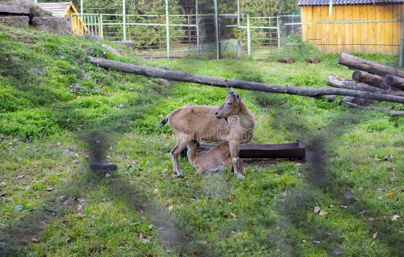 Capre dello zoo all'aperto in estate fotografia stock