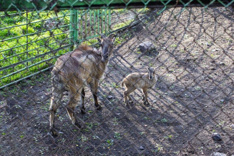 Capre dello zoo all'aperto in estate immagini stock
