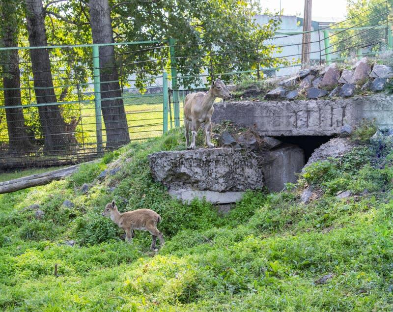 Capre dello zoo all'aperto in estate immagini stock libere da diritti