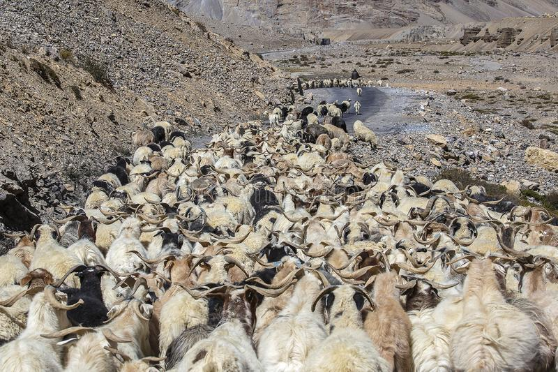 Capre e pecore che causano traffico nella montagna dell'Himalaya lungo Leh alla strada principale di Manali, Ladakh, regione del  fotografia stock
