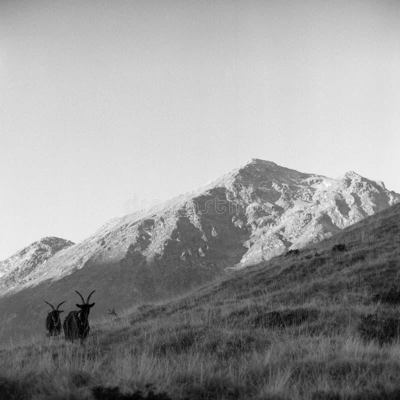 Capre in montagna fotografie stock