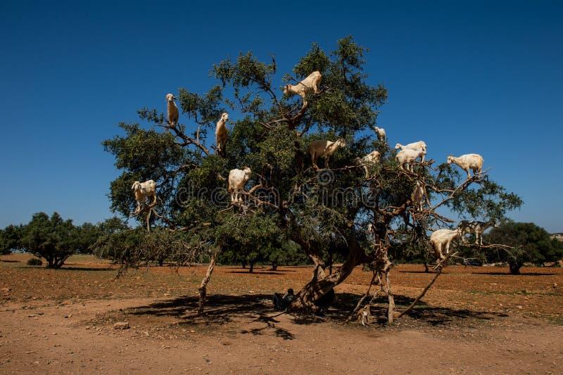Capre nell'albero di spinosa di Argan Argania, Marocco immagini stock libere da diritti