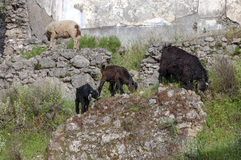 Capre nelle rovine villaggio greco di karmylassos di Kayakoy di vecchio in Fethiye, Turchia fotografie stock libere da diritti