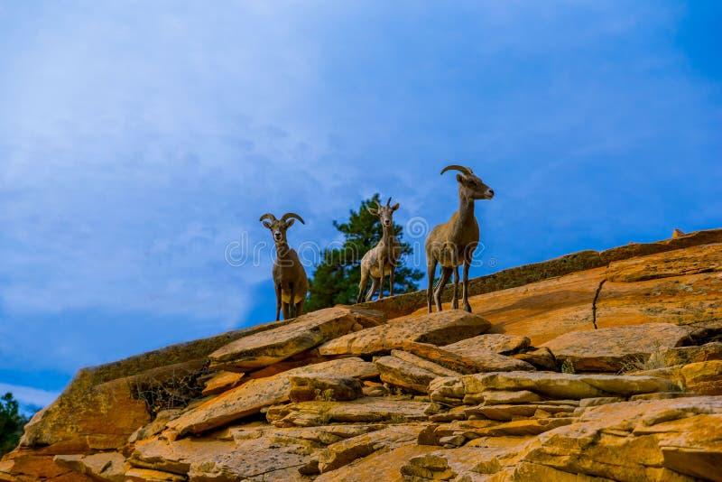 Capre selvatiche che posano nelle montagne fotografie stock