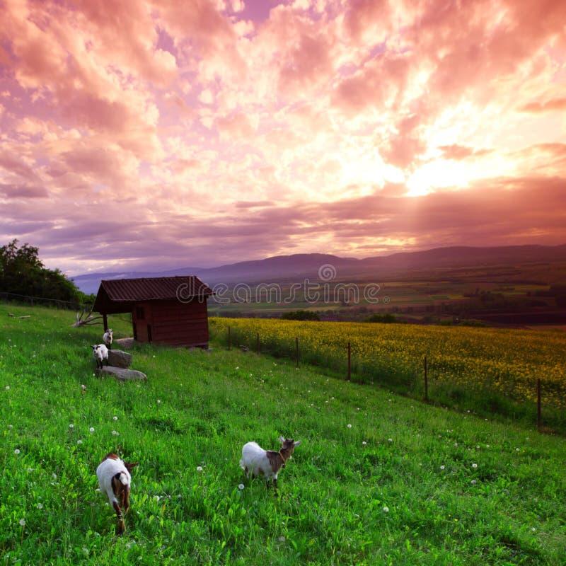 Capre su erba verde fotografie stock libere da diritti