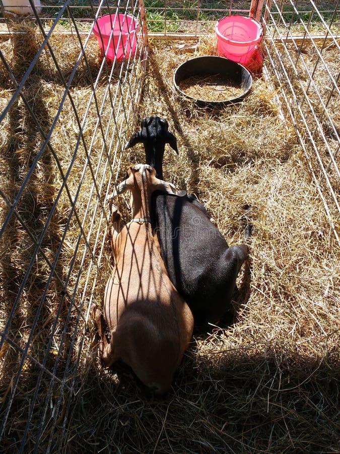 Capre in una penna del bestiame ad una fiera della contea, Pensilvania, U.S.A. immagini stock libere da diritti