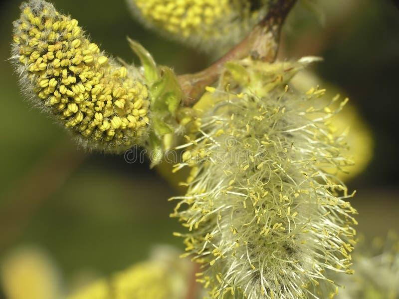 Caprea del Salix immagini stock libere da diritti