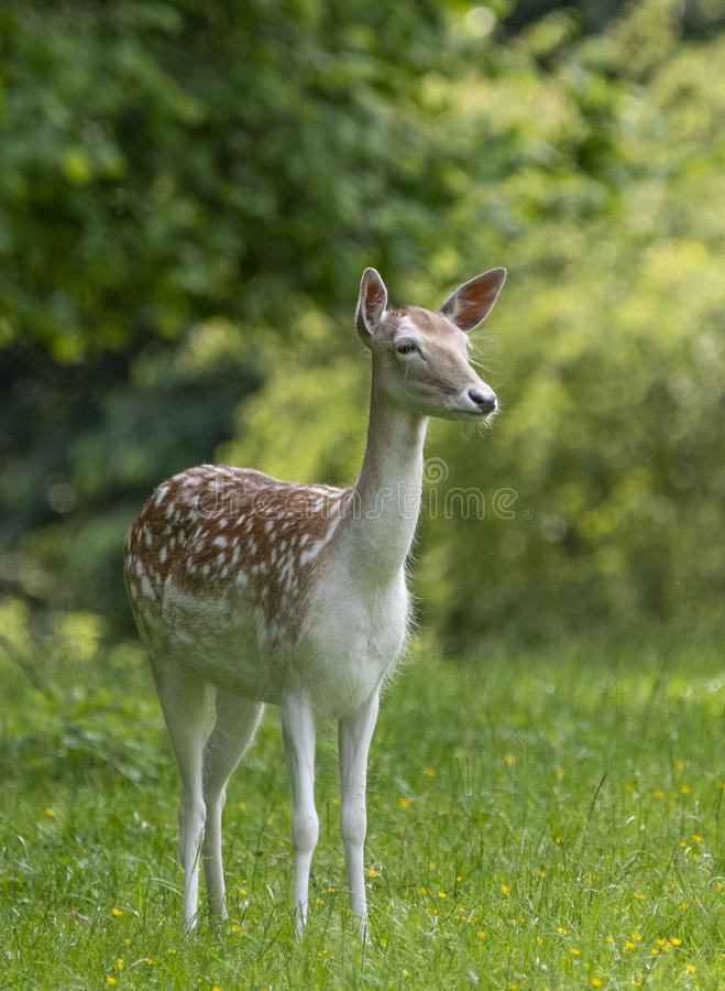Capreolus de Roe Deer Capreolus do europeu fotos de stock
