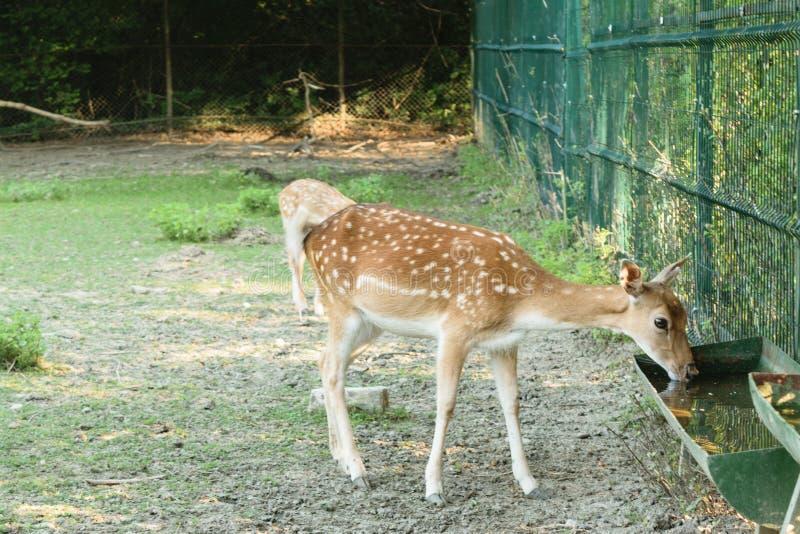 Capreolus del Capreolus - el agua potable de los ciervos jovenes, ciervo se aumenta en cautiverio foto de archivo libre de regalías