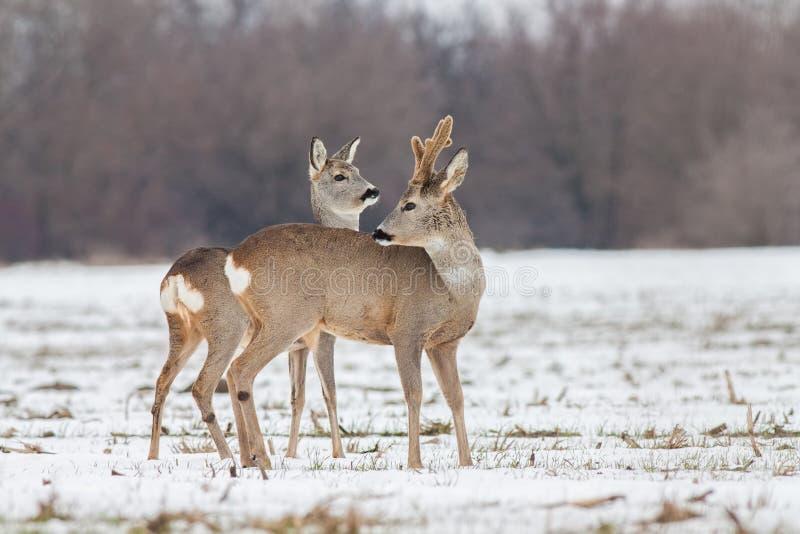 Capreolus do Capreolus dos cervos de ovas no inverno na neve imagem de stock