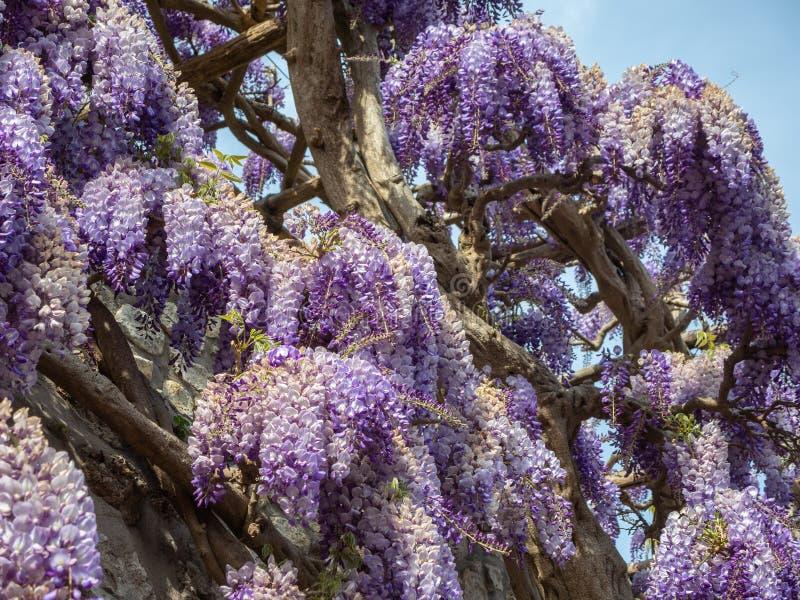 capri Italy Piękni kwitnący fiołkowi żałość kwiaty obraz stock