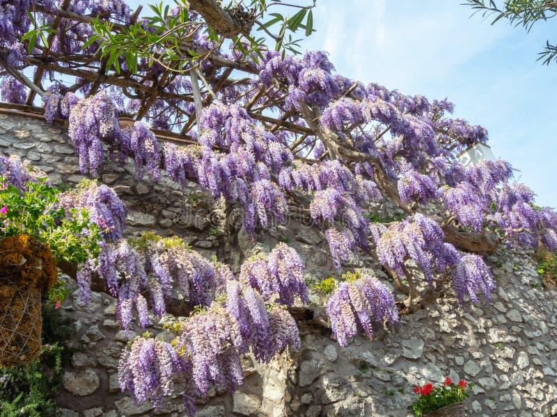capri Italy Piękni kwitnący fiołkowi żałość kwiaty zdjęcia stock