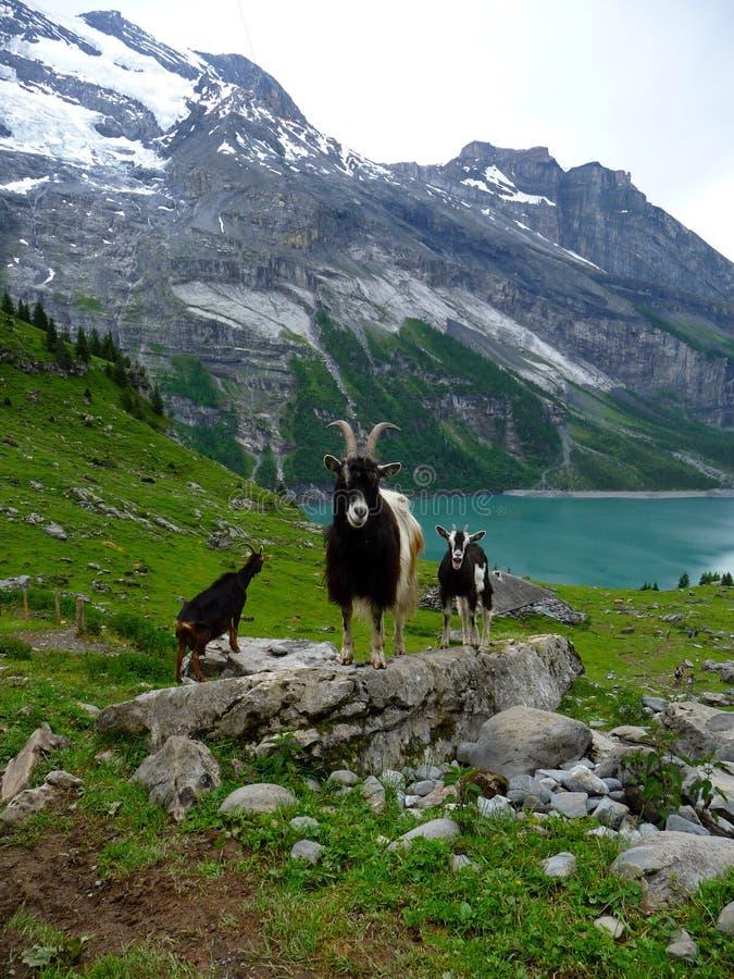 Capri nelle alpi svizzere immagine stock