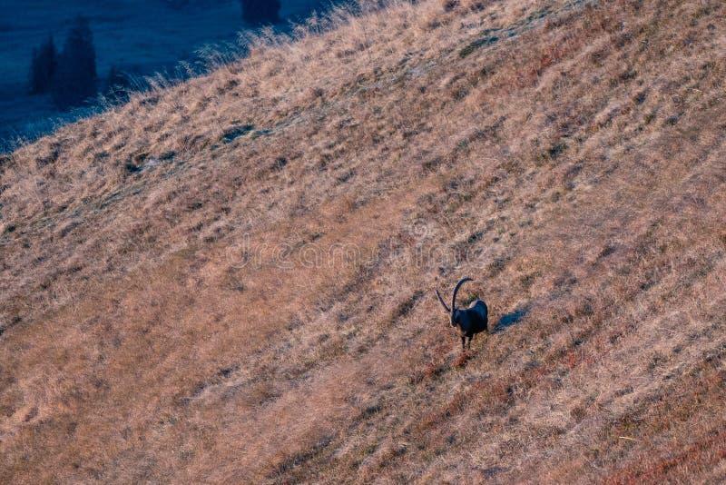 Capricórnio selvagem nos cumes suíços foto de stock