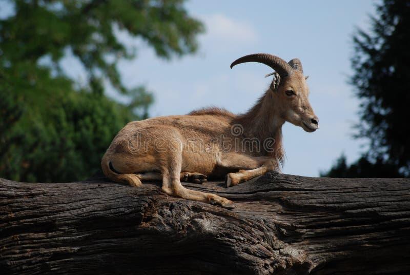Capricorn fêmea ibérico que descansa em um tronco de árvore no jardim zoológico fotografia de stock