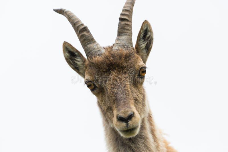 Capricorn för stenbock för stående för främre sikt ung alpin, vit backgroun royaltyfria bilder