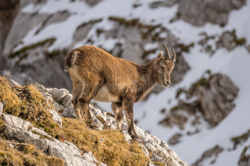 Capricorn in the Julian Alps. Capricorn in the montains of the Montasio Massif in the Julian Alps stock photography