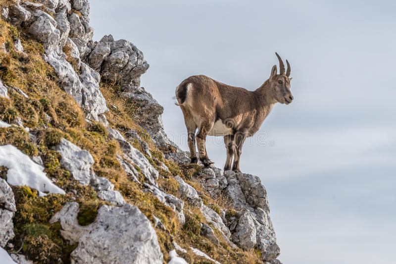 Capricorn in the Julian Alps. Capricorn in the montains of the Montasio Massif in the Julian Alps royalty free stock photos