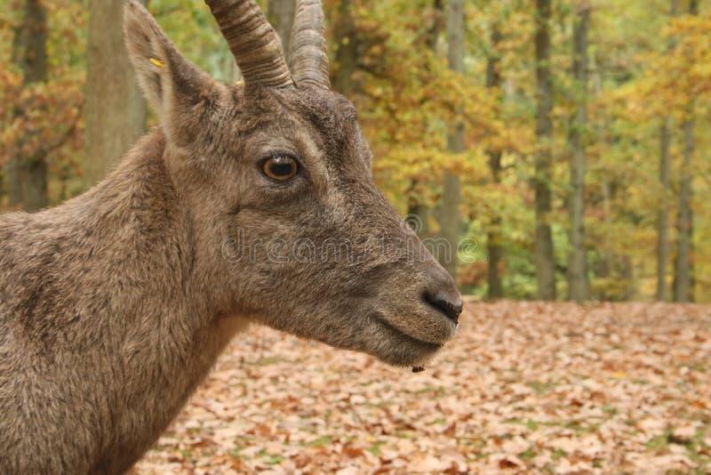 Capricorne alpin, ipex dans un forrest en automne photos stock