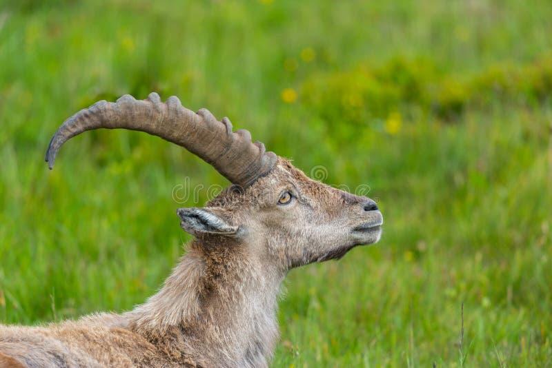 Capricorne alpin naturel masculin de bouquetin de portrait de vue de côté image libre de droits