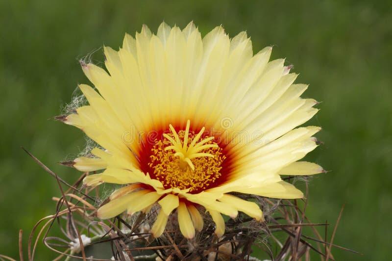 Capricorne d'Astrophytum. photographie stock libre de droits